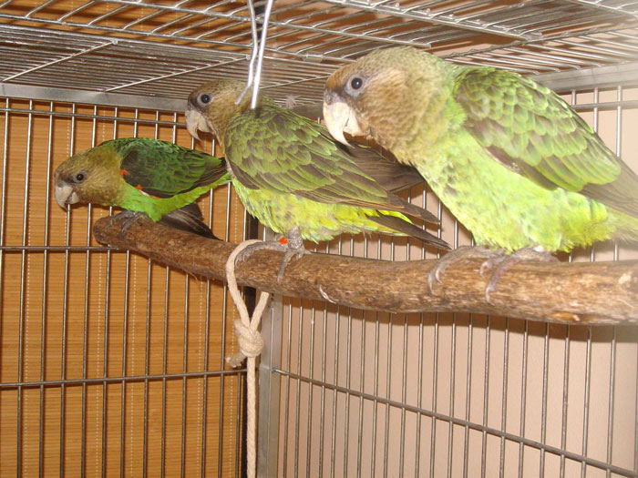 cape parrots rehabilitation
