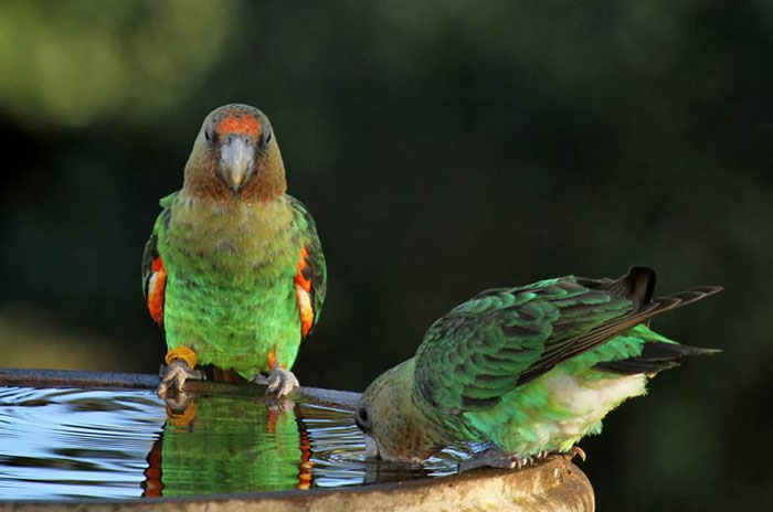 cape-parrots