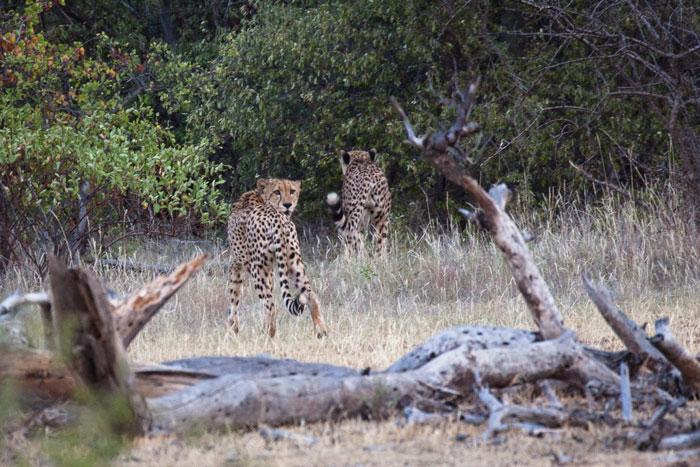 cheetah-limpopo-lipadi