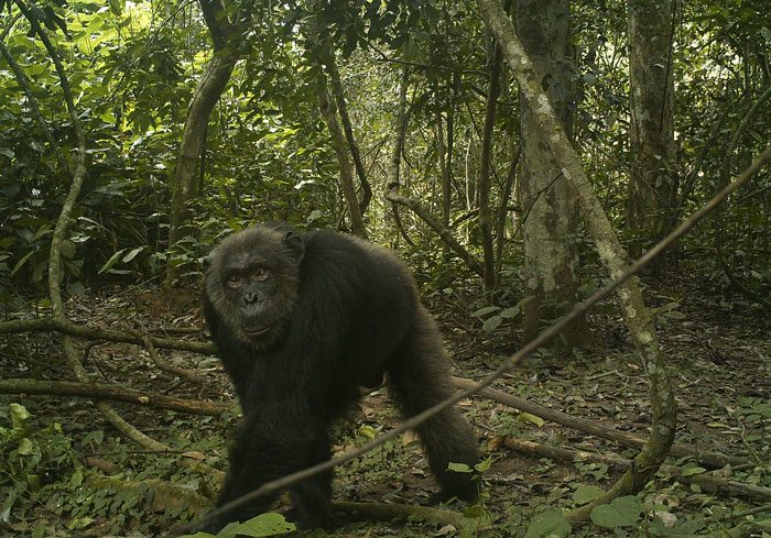 chimpanzee in camera trap