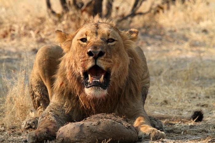 chobe lion