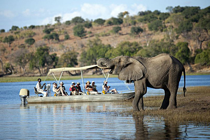 chobe river elephants