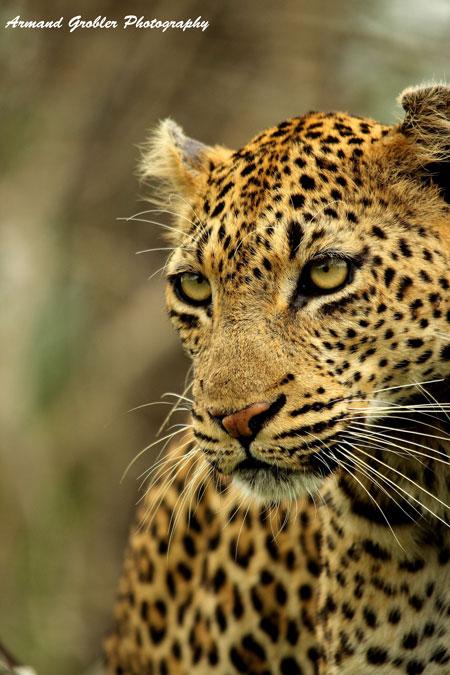 collared-leopard-kruger