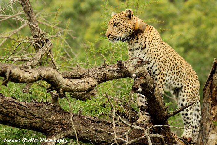 collared-leopard