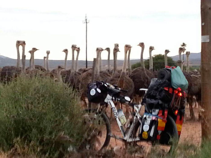 cycling-ostriches