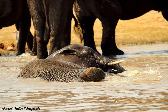 elephant-swim