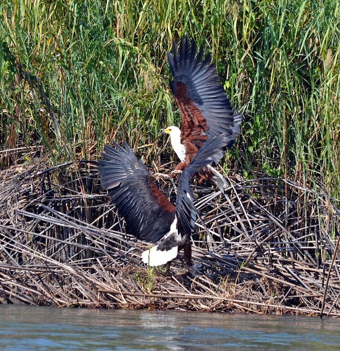 fish eagles okavango delta