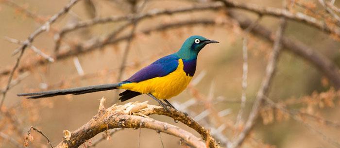 goldegolden-breasted-starling