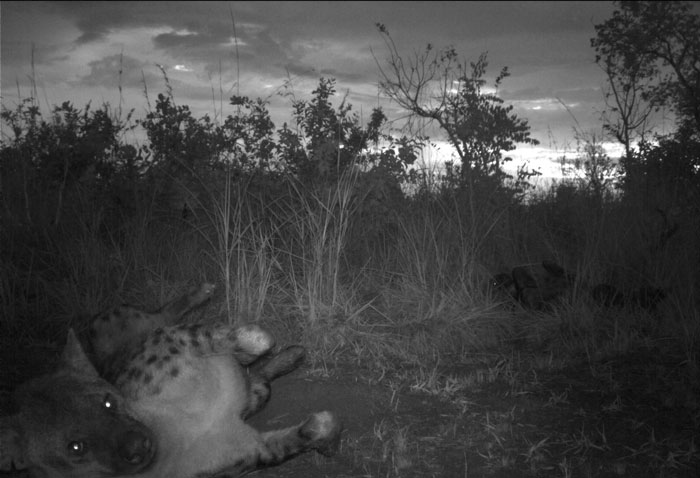 hyena in camera trap