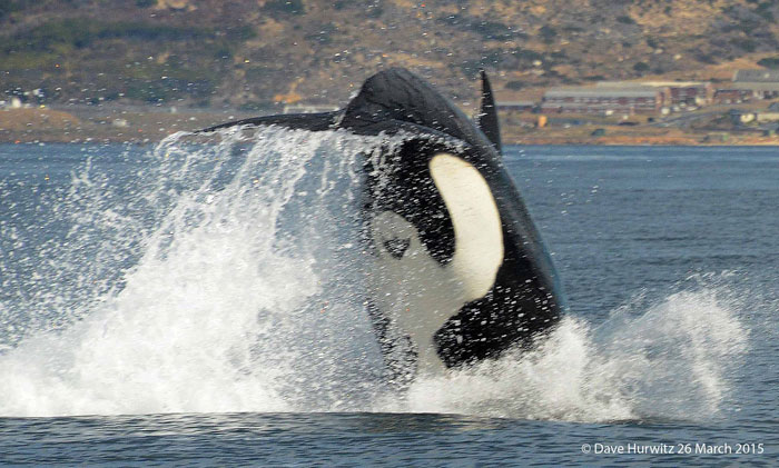 killer whale false bay