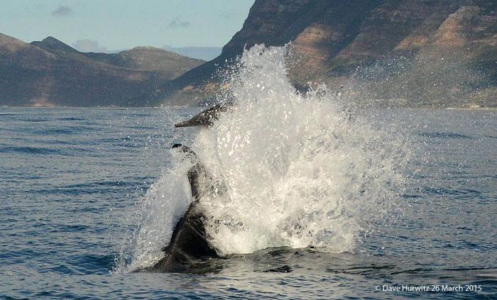 killer whale hunting dolphin false bay