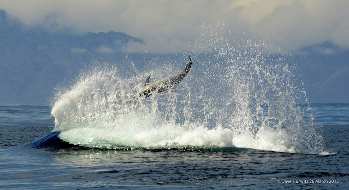 killer whale hunting dolphin