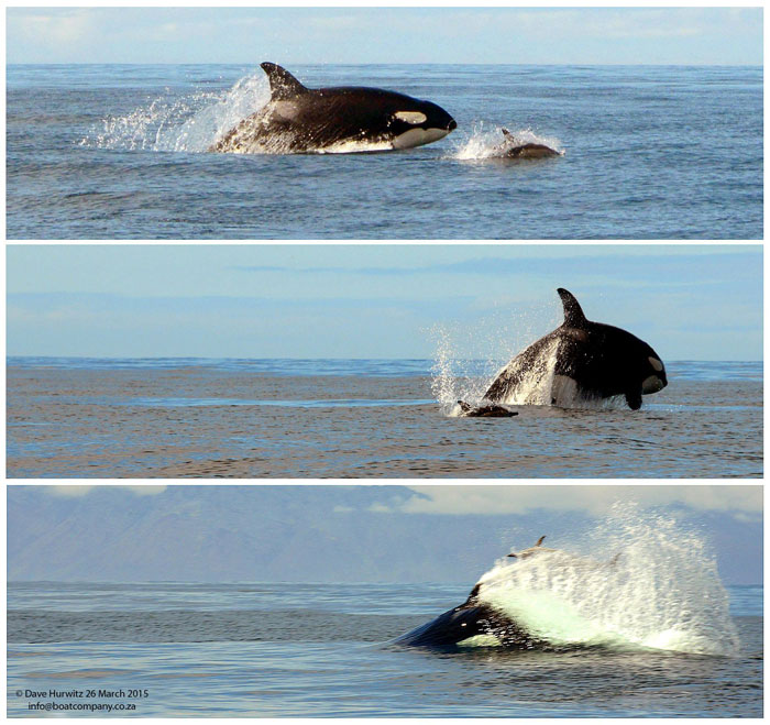 killer whale hunting false bay