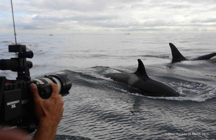 killer whales false bay