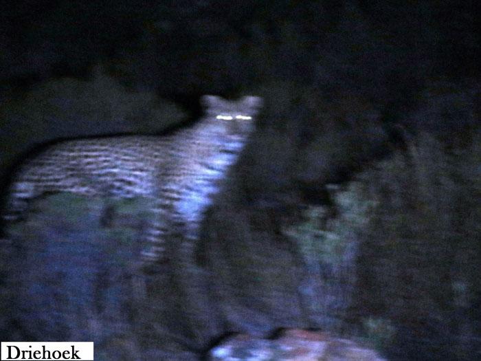 leopard-cederberg