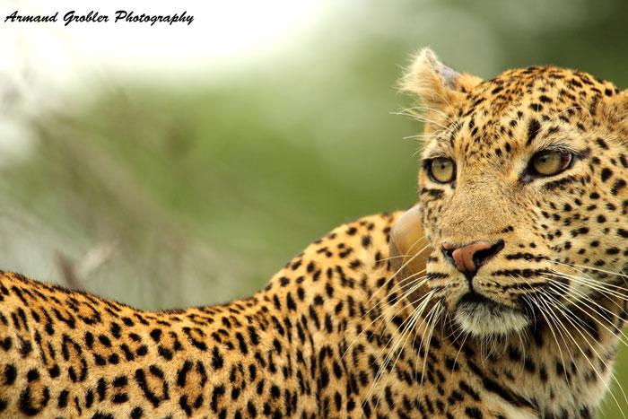 leopard-in-kruger