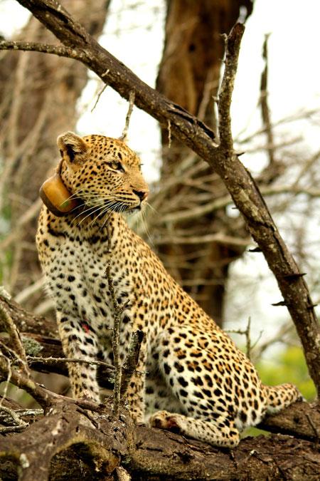 leopard-kruger-park