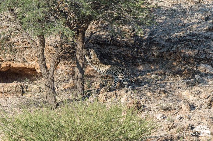 leopard kgalagadi