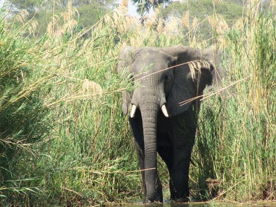 malawi-elephant