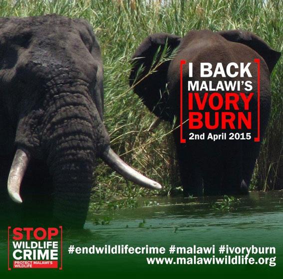 malawis ivory burn