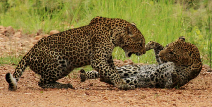 male leopards fighting