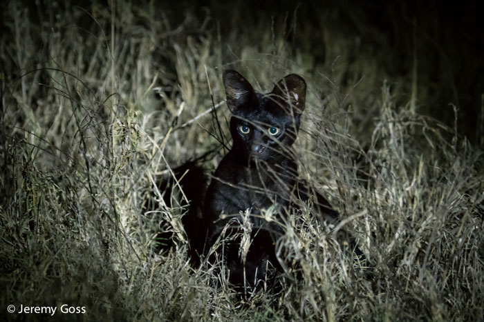 When a serval meets a melanistic friend - Africa Geographic Сервал