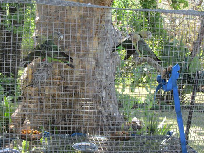 release cape parrots