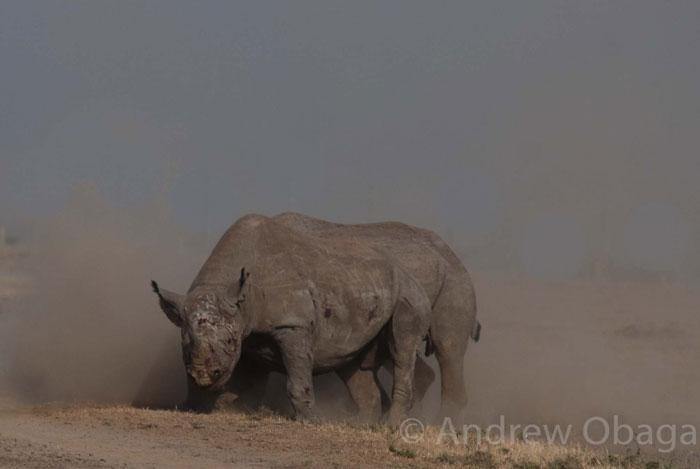 rhino-battle