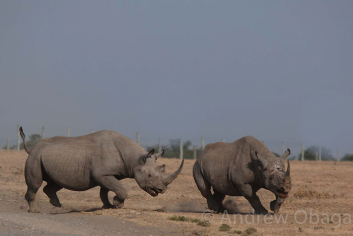 rhino-clash