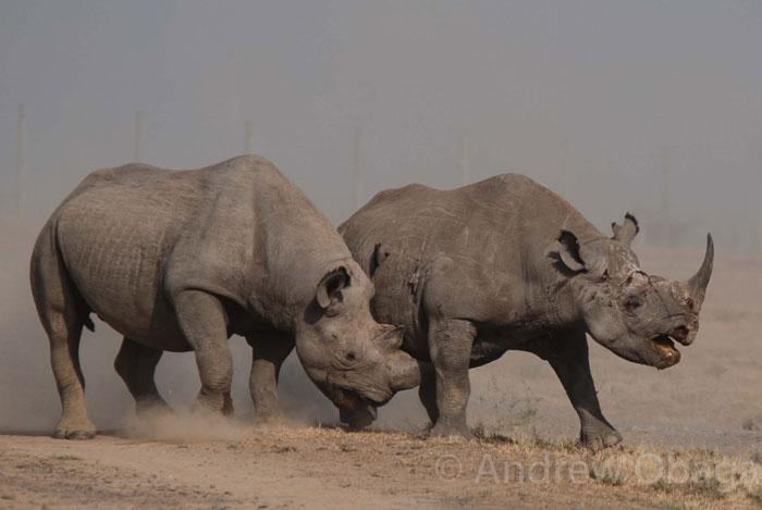 rhinos-fight