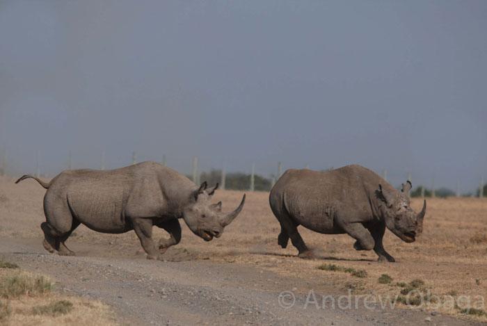 rhinos-running