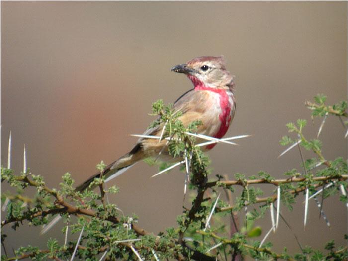 rosy-patched-bush-shrike