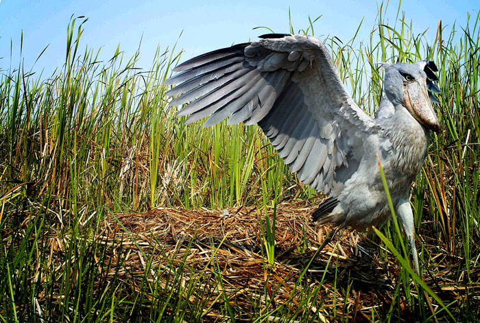 shoebill in camera trap