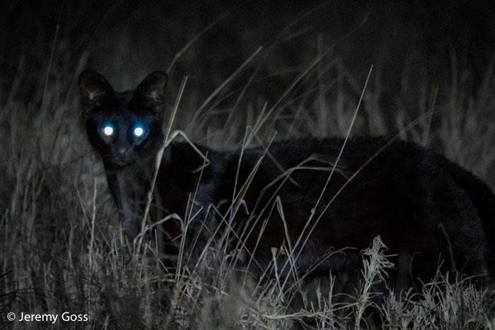 Black serval cats