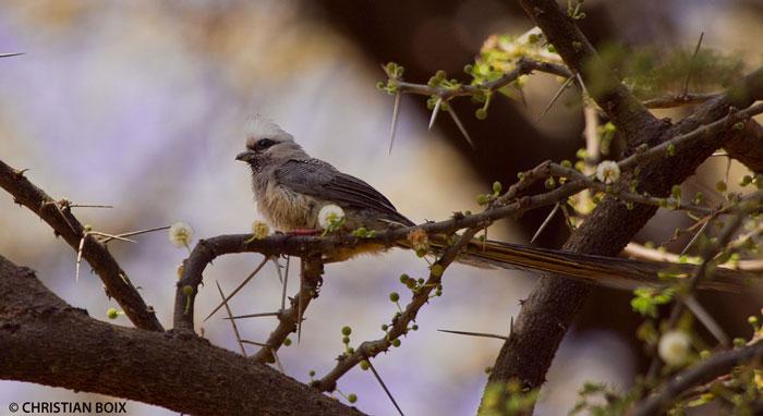 white-headed-mousebird