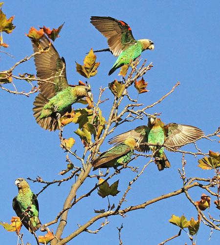 rehabilitated parrots