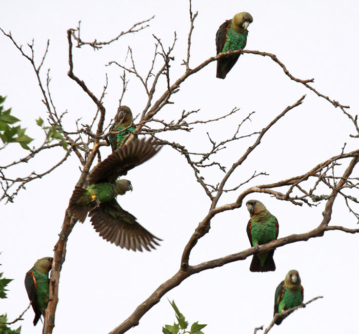 wild cape parrots