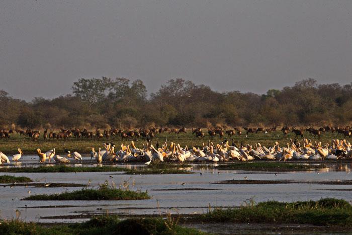 zakouma-birdlife-pelicans