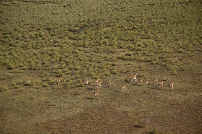 zakouma-giraffe