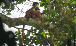 World's first photo of Bouvier's red colobus (Piliocolobus bouvieri) taken early March 2015 in the Ntokou-Pikounda National Park in the Republic of Congo. The photo shows an adult female with offspring. © Lieven Devreese
