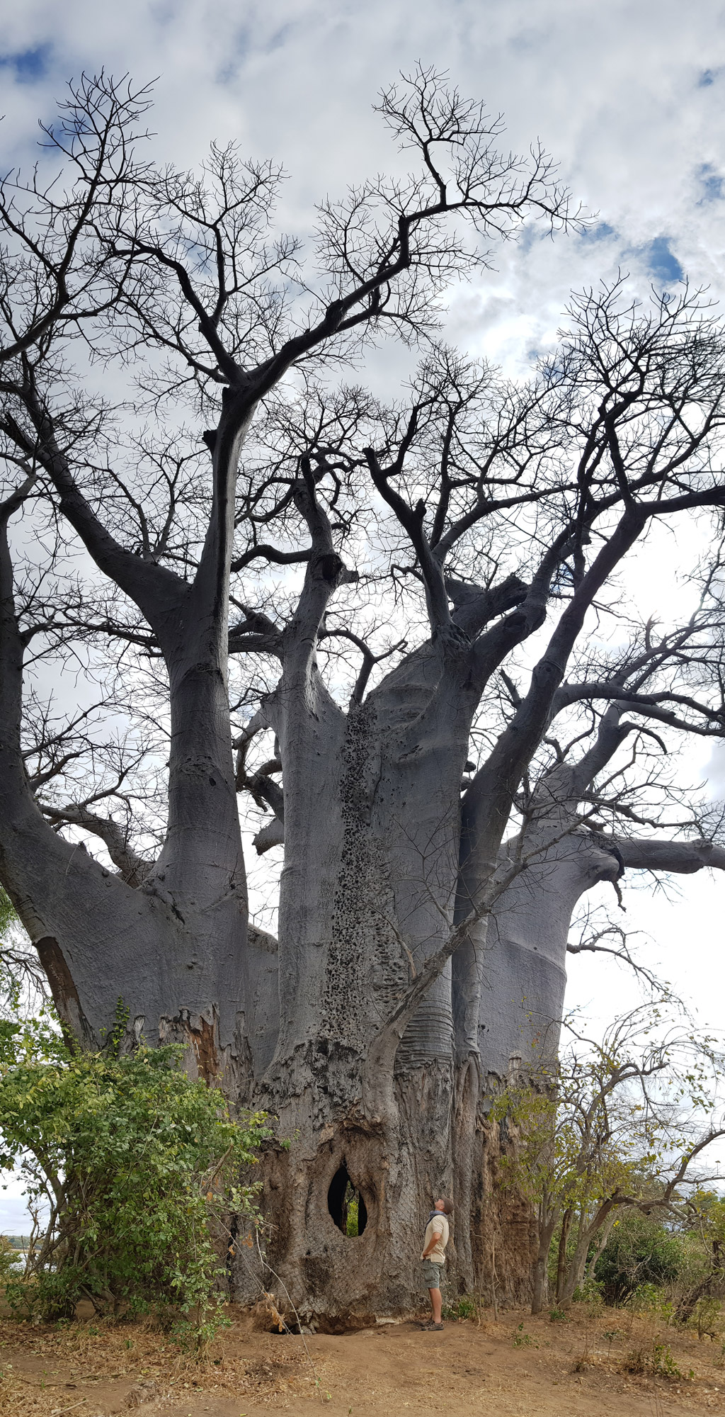 9 Fascinating Baobab Tree Facts Africa Geographic