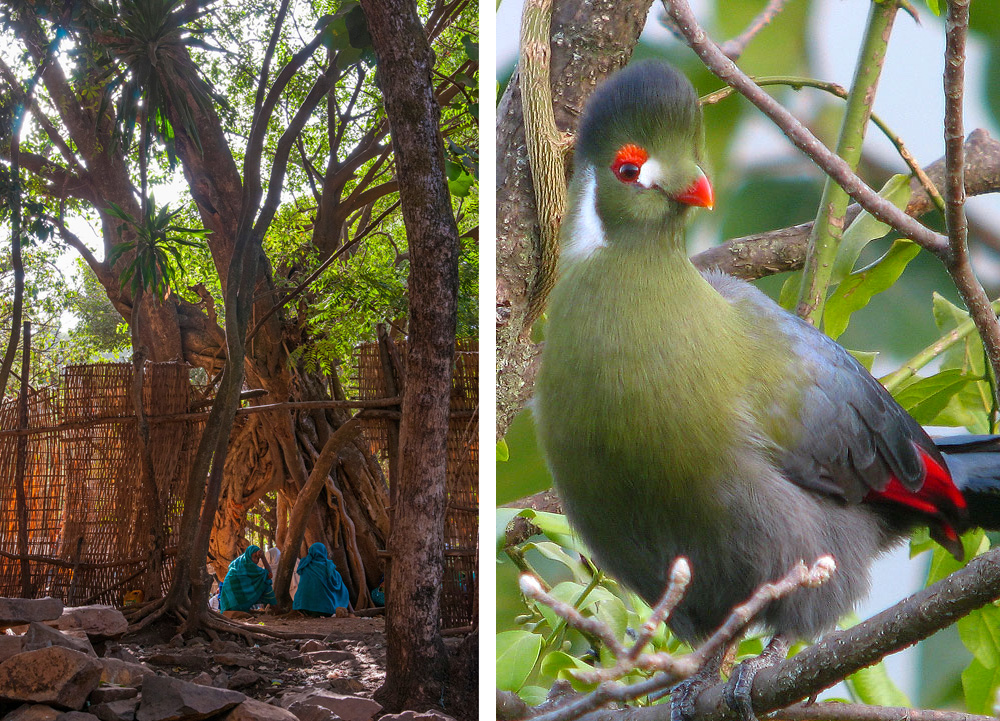 15A_9906_white cheeked-turaco christian-boix-ethiopia-church-forest