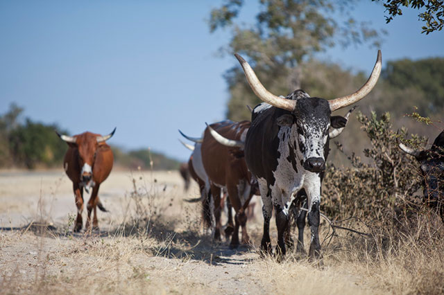 Nguni Cattle Of The Caprivi Africa Geographic