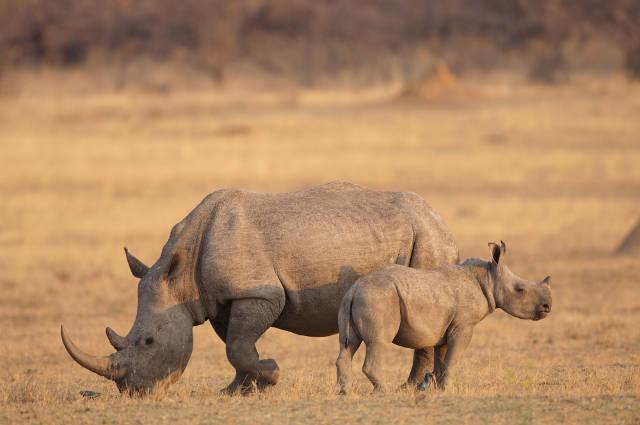 Update On Rhino Poaching Statistics Africa Geographic