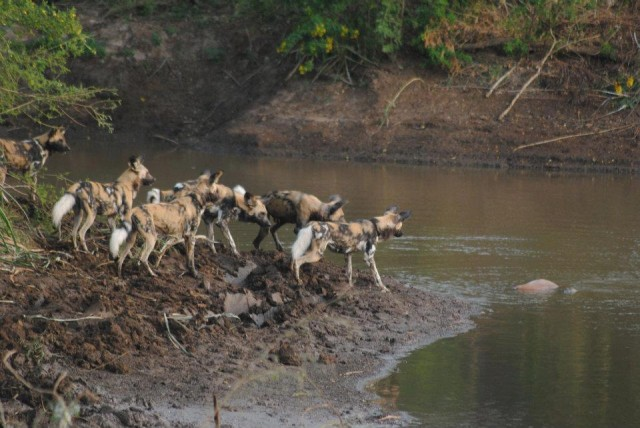 african painted dogs vs crocodile africa geographic