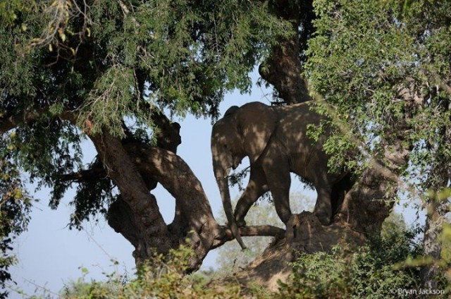 The Tree Climbing Elephant Africa Geographic