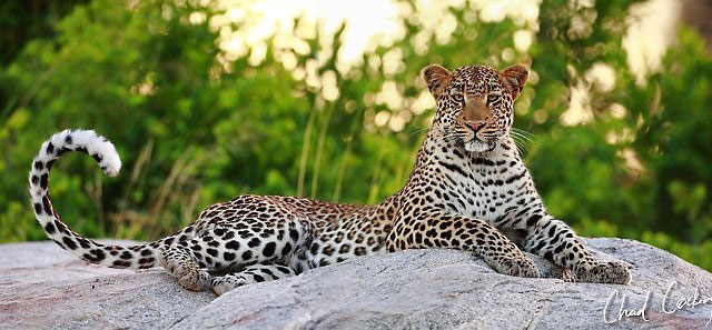 A Love Of Leopards Africa Geographic