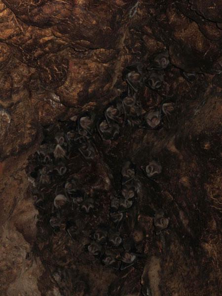 bat colony inside a baobab