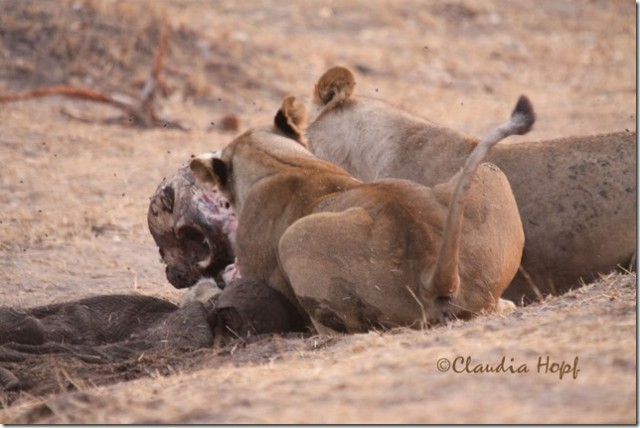 Image Gallery lions fighting hyenas