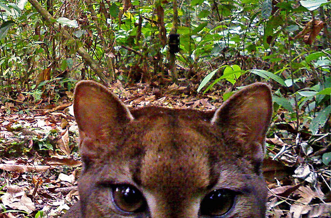 Camera-trap_LBahaa-el-din_African-golden-cat5